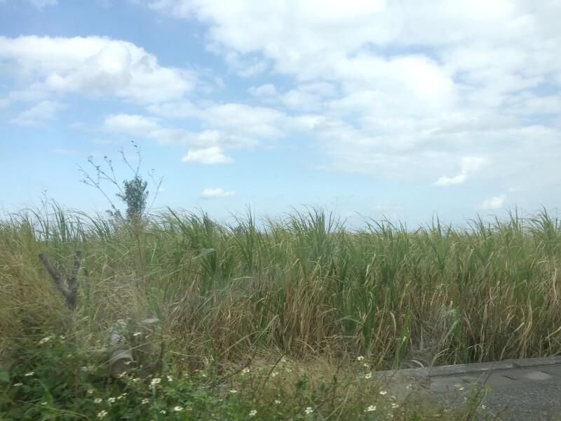 宮古島の日常風景写真-サトウキビ畑
