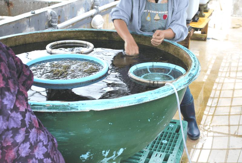 宮古島の海ぶどう-地元の人たちが手作業で海ぶどうを仕分け?してる