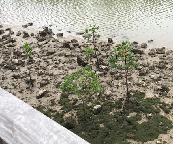 まだ小さいマングローブの木