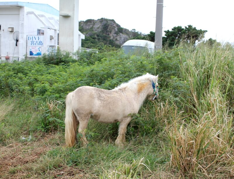 宮古島の草をはむ白い馬