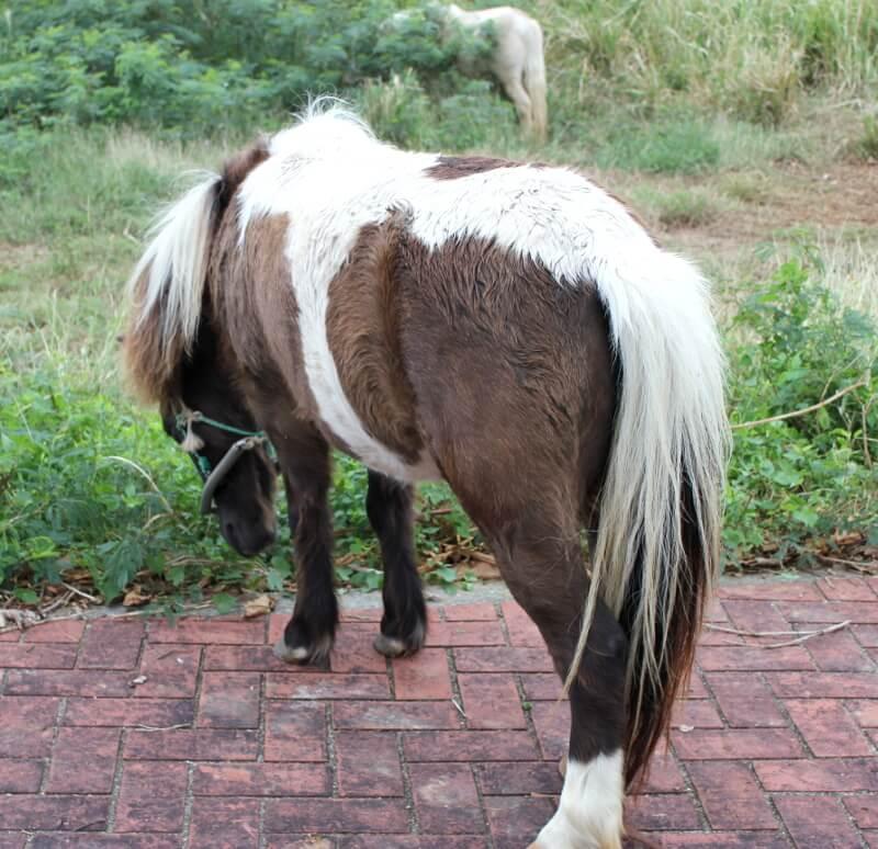 宮古島で見かけた茶まだらの馬と白い馬