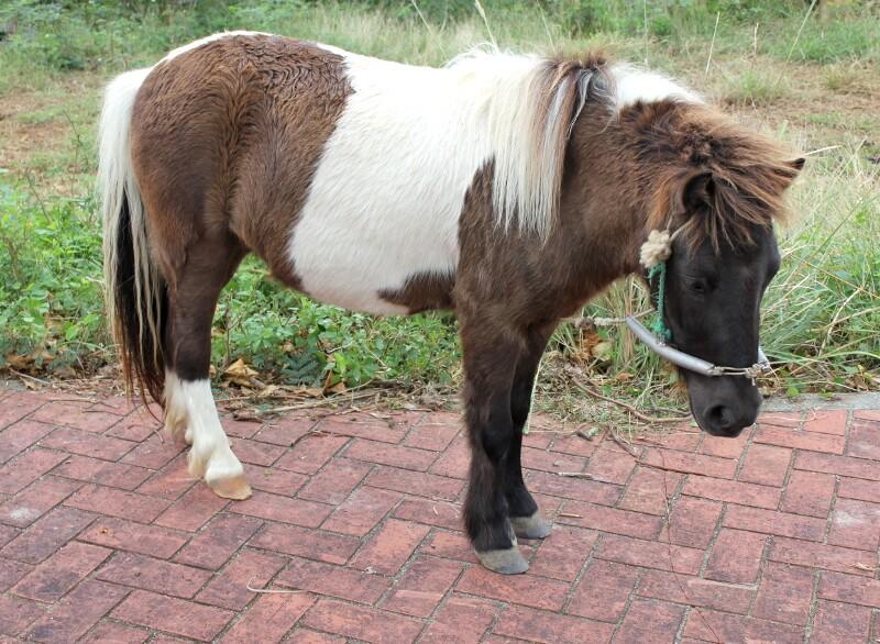 宮古島にいた茶色に白のかわいい馬