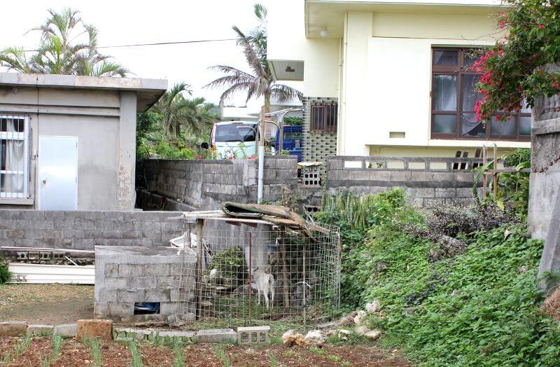 宮古島のうちでふつうに飼われてるっぽいヤギ