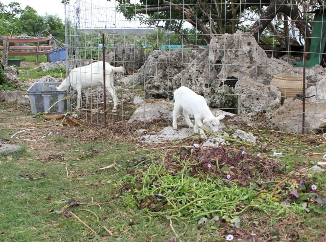 宮古島で見た大人のヤギと子ヤギ