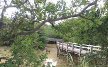 宮古島の観光スポット、川満のマングローブ遊歩道